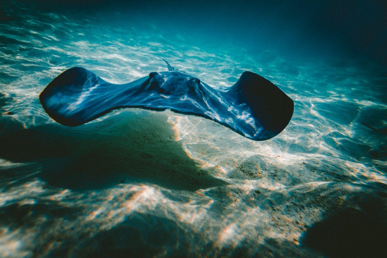 manta ray swimming in shallow water