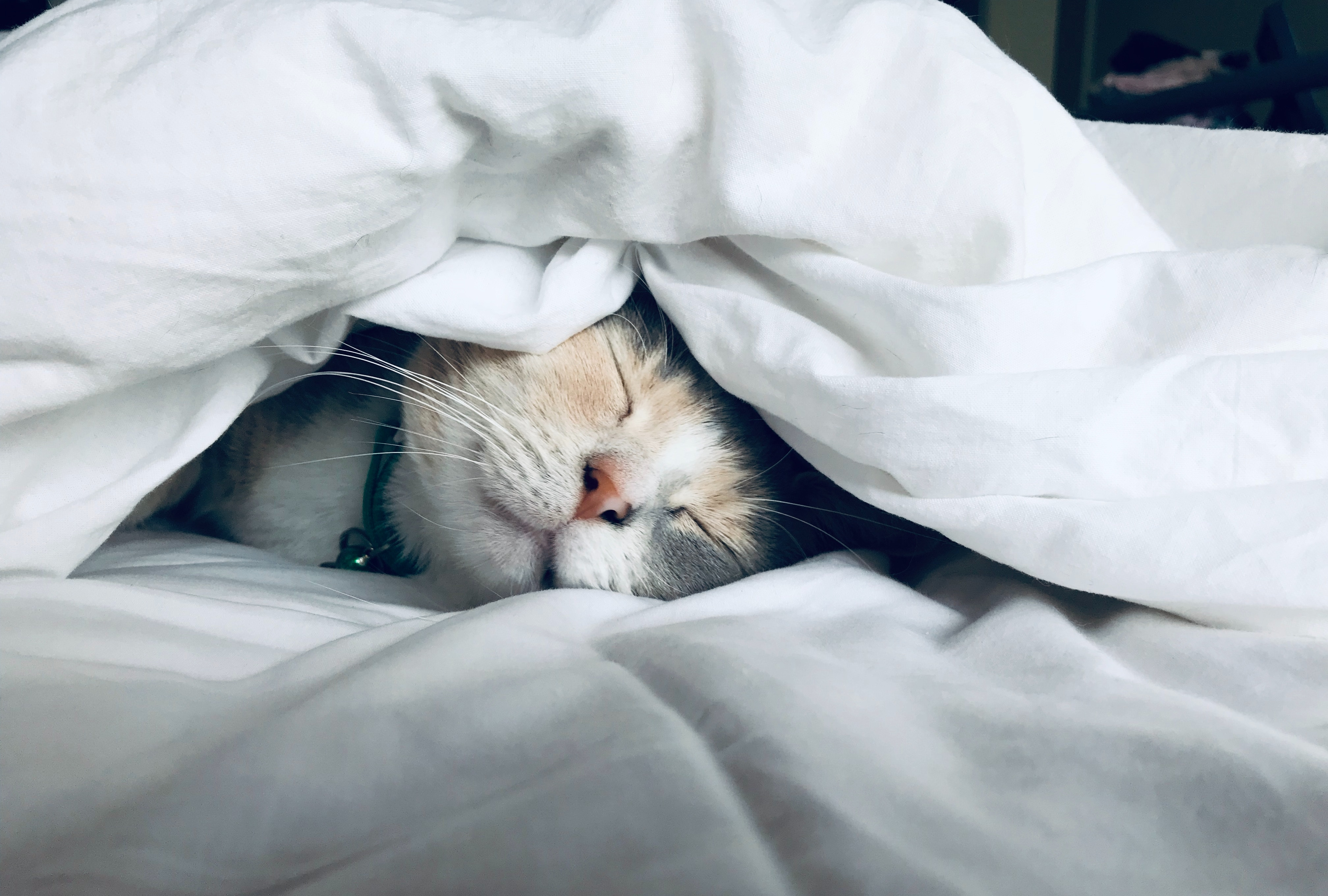 A smiling orange and white cat sleeping beneath a soft-looking, white comforter.