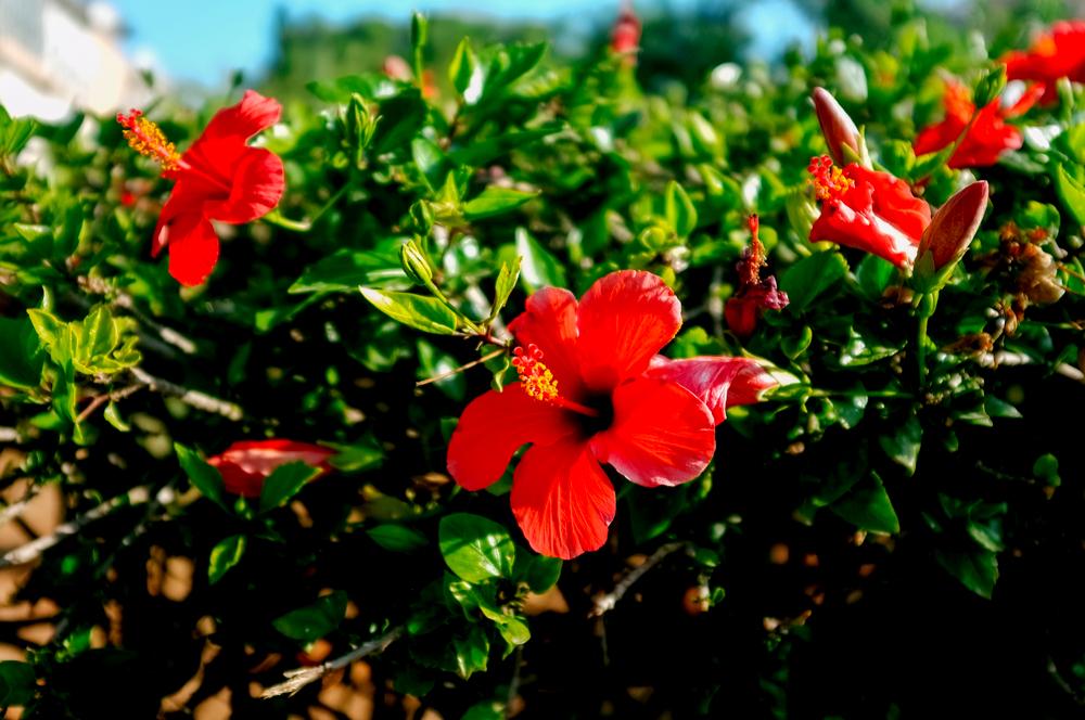 hibiskusblüten wirkung
