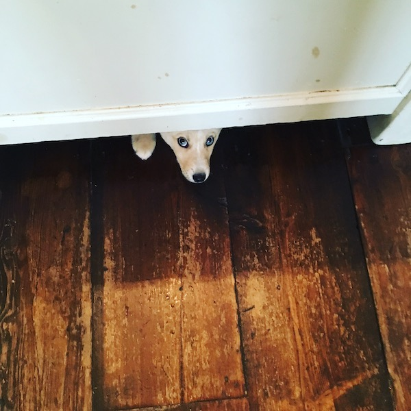 puppy hiding under a very low table