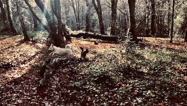 pan running through the woods