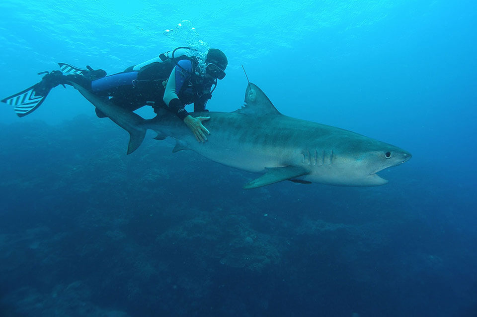 A tagged tiger shark on the Great Barrier Reef