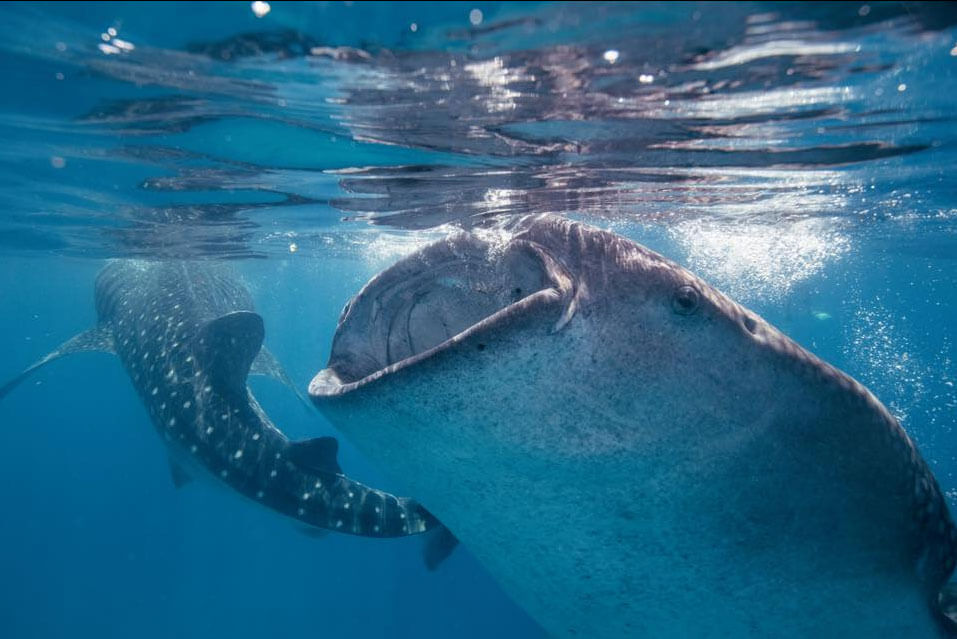 Whale sharks on the Great Barrier Reef
