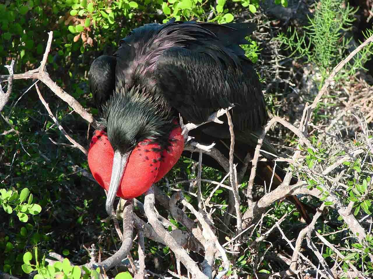 Frigate | Galapagos Islands