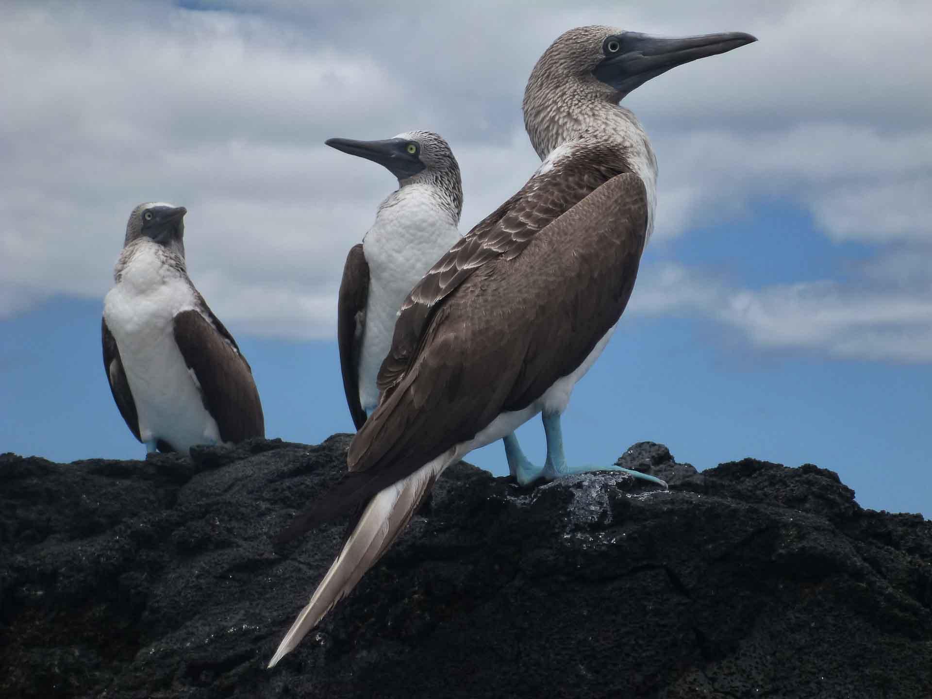Galapagos blue footed