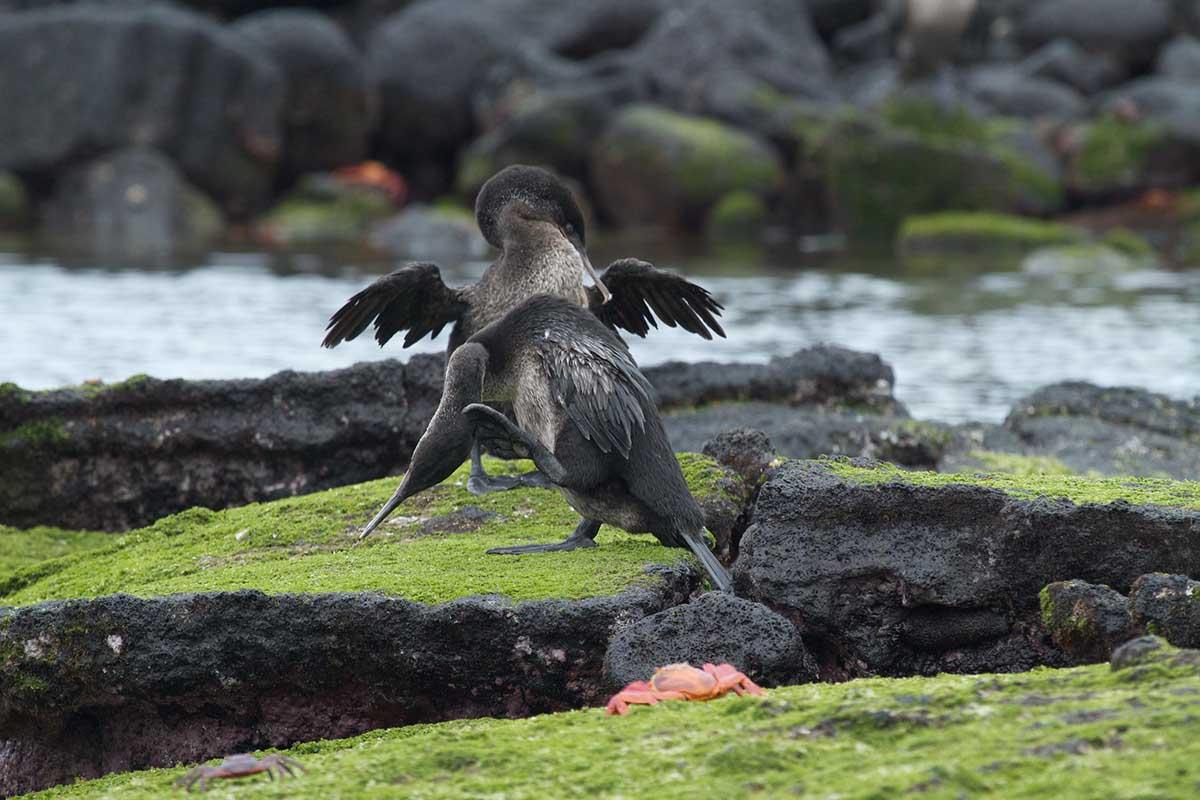 Galapagos cormorants