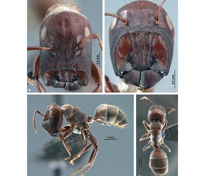 Exploring biodiversity. Ants that explode!
