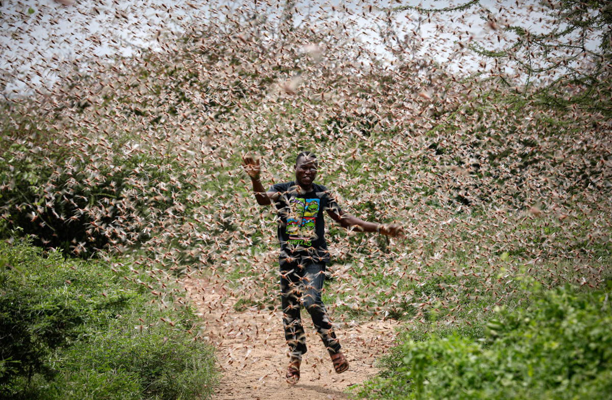 Desert Locusts, a strong marker of the consequences of human activity and global warming
