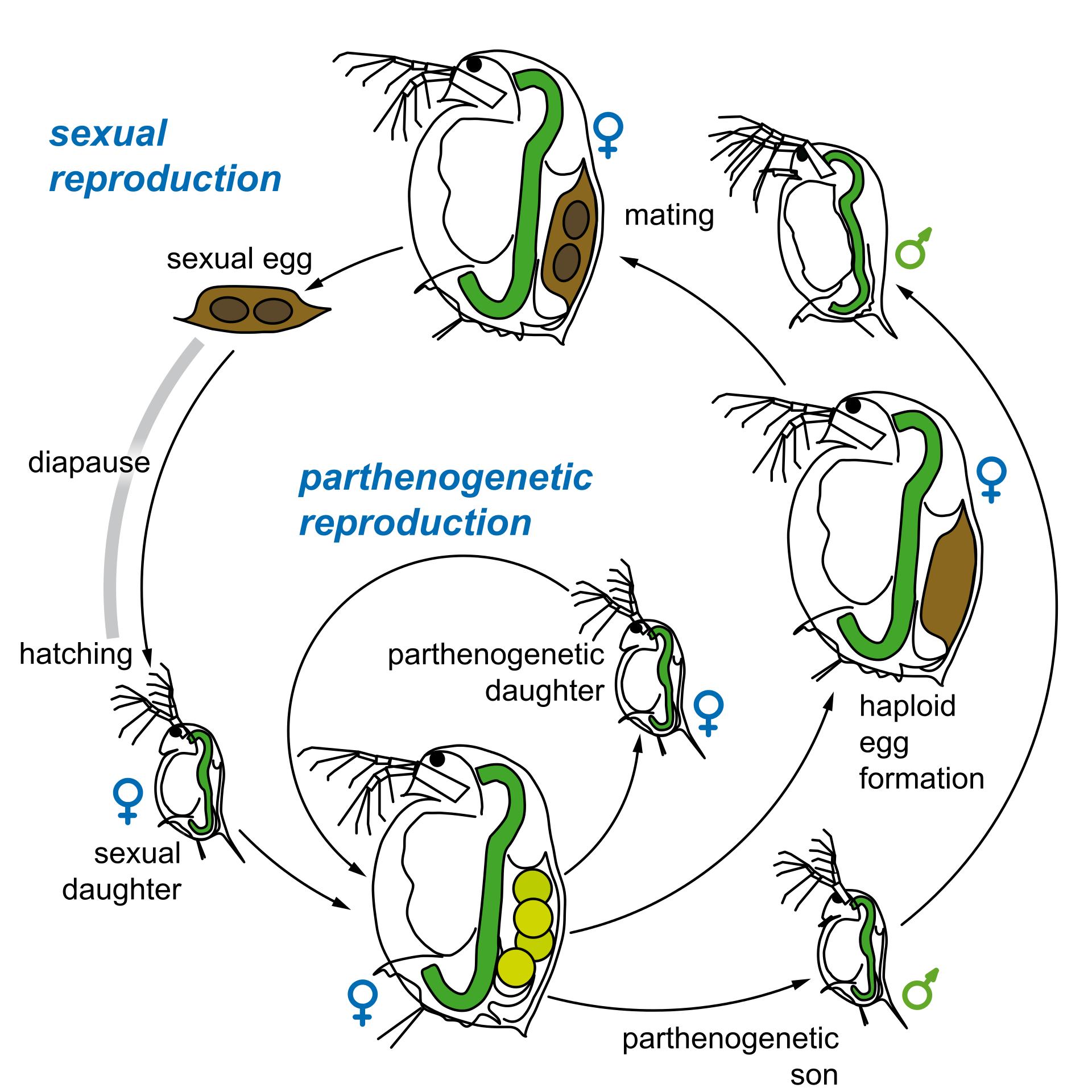 Daphnia Magna reproductive lifecycle