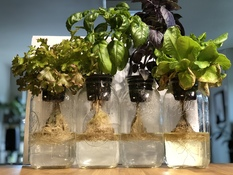 Four mature Kratky Jars