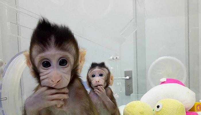 Los primeros monos clonados - 1