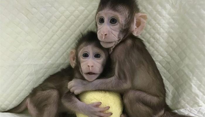 Los primeros monos clonados - 2