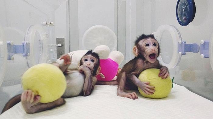 Los primeros monos clonados - 3
