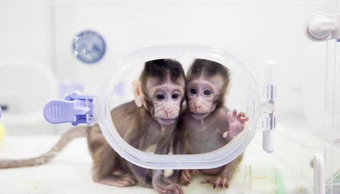 Los primeros monos clonados - 4