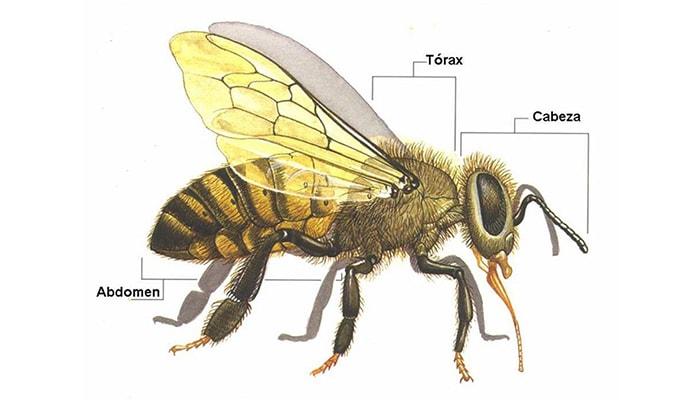 Las abejas y su importancia en el mundo - 5
