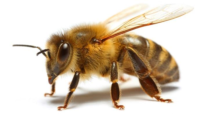 Las abejas y su importancia en el mundo - 7