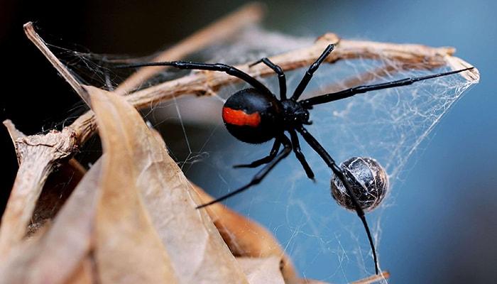 ¿Por qué la araña viuda negra mata al macho después del apareamiento? - 3