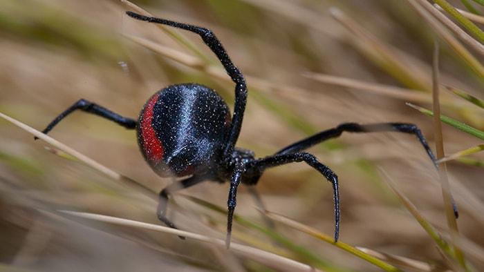 ¿Por qué la araña viuda negra mata al macho después del apareamiento? - 2