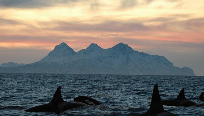 Las Orcas: ballenas asesinas - 4