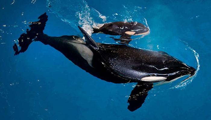 Las Orcas: ballenas asesinas - 6