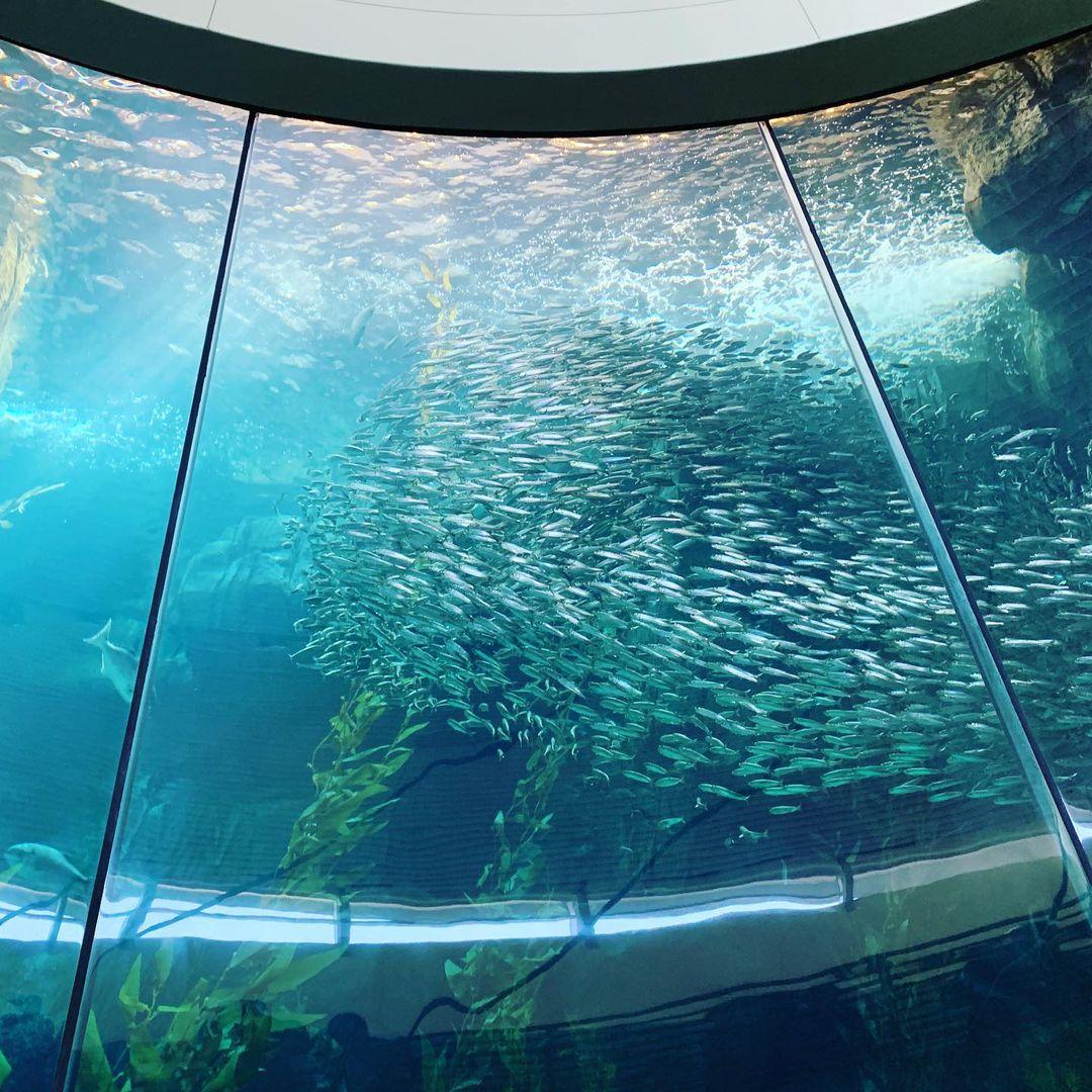去Aquarium of the Pacific看我最喜欢的海獭🦦 图1