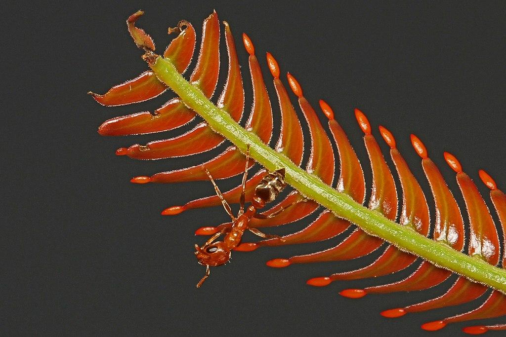 https://firebasestorage.googleapis.com/v0/b/fiveable-92889.appspot.com/o/images%2F1024px-Ant_-_Pseudomyrmex_species%2C_on_Bull_Thorn_Acacia_(Acacia_cornigera)_with_Beltian_bodies%2C_Caves_Branch_Jungle_Lodge%2C_Belmopan%2C_Belize_-_8505045055.jpg?alt=media&token=7580c51a-564b-4aff-822a-677a819ae423