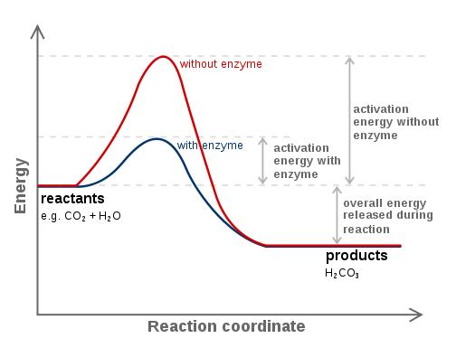 https://firebasestorage.googleapis.com/v0/b/fiveable-92889.appspot.com/o/images%2F504px-Carbonic_anhydrase_reaction_in_tissue.png?alt=media&token=c81503c8-69cf-45c0-93f2-b048d29ea856