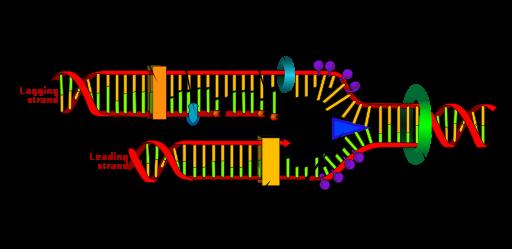 https://firebasestorage.googleapis.com/v0/b/fiveable-92889.appspot.com/o/images%2F512px-DNA_replication_en.png?alt=media&token=84c8dade-6736-4fbf-bd53-9d573dd2c0c3