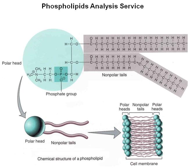 https://firebasestorage.googleapis.com/v0/b/fiveable-92889.appspot.com/o/images%2FPhospholipids-Analysis-Service.png?alt=media&token=ad3307d2-cea6-49b9-ab0a-3ceb30e079db