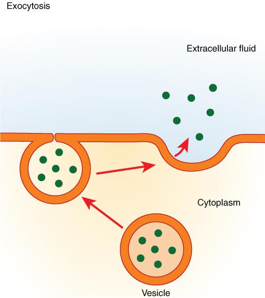 https://firebasestorage.googleapis.com/v0/b/fiveable-92889.appspot.com/o/images%2Fexocytosis.jpg?alt=media&token=8e6b18a8-e5f0-4062-a377-01d041214329