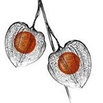 Physalis Private Tattoo Shop
