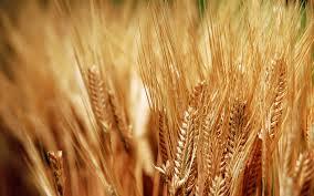ضبط المسؤولين عن صوامع القمح ببنى سويف لتلاعبهم فى 18 ألف طن