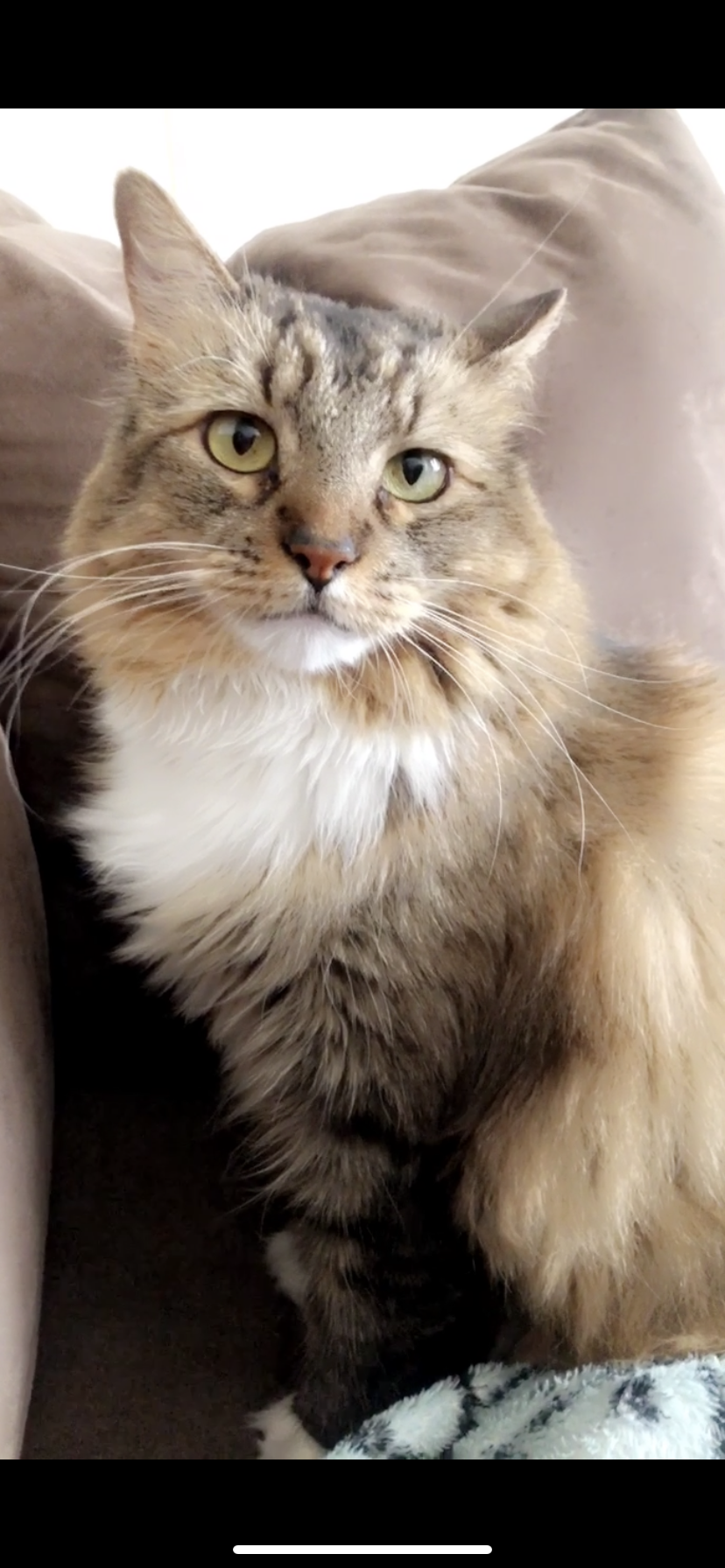 a picture of Lilly  a cat that needs a foster home.