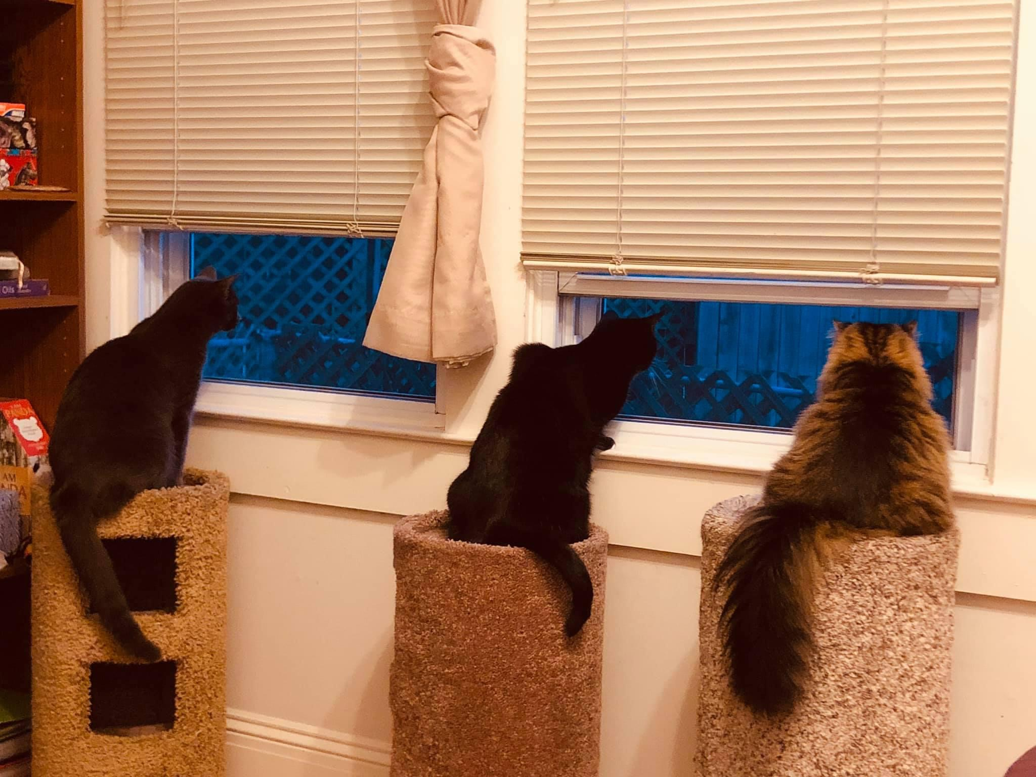 a picture of Sylvester (tabby), Geko (gray), Stella (b&w) a cat that needs a foster home.