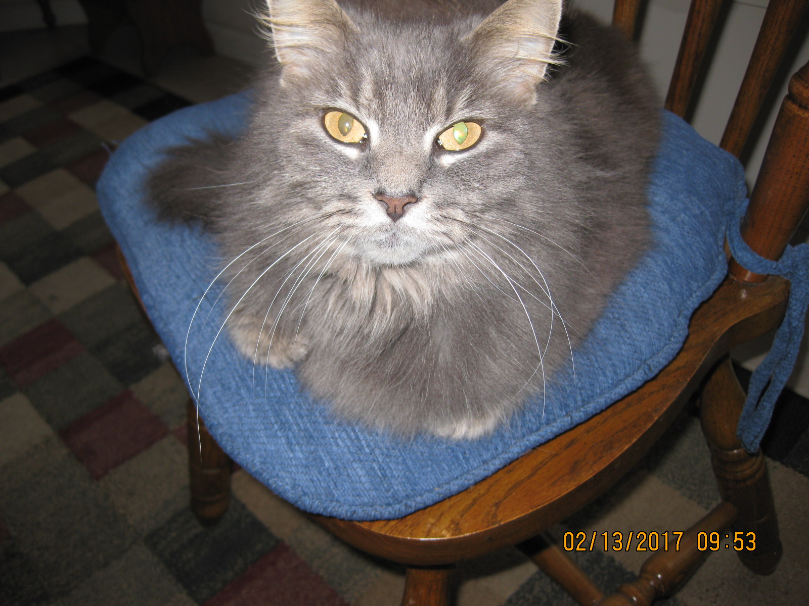 a picture of Maria  a cat that needs a foster home.