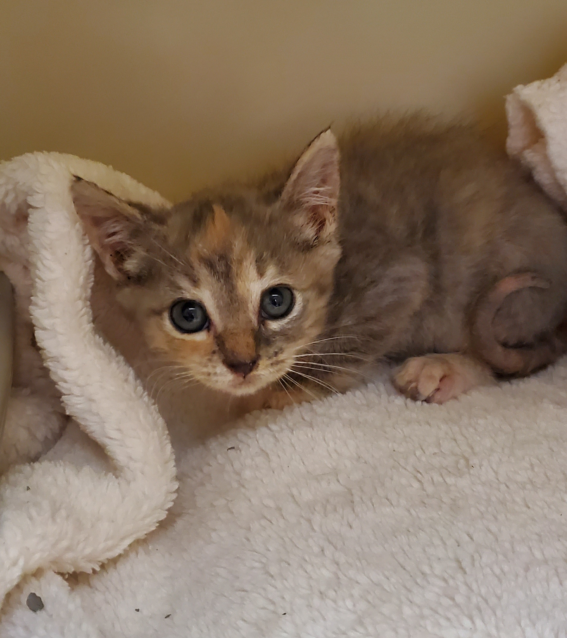 a picture of little kitten with ringworm a cat that needs a foster home.