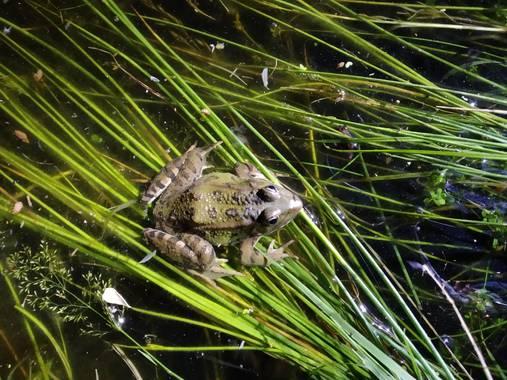 Be wild & travel en Hamelin: Observación de anfibios - Actividad  (Madrid)