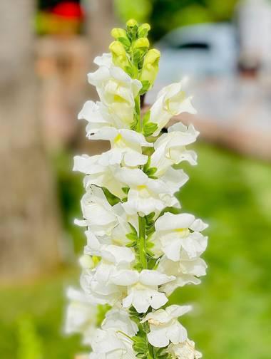 su en Hamelin: Flora  (Marbella), Antirrhinum majus, Boca de Dragón  Antirrhinum majus (boca de dragón) es una especie de planta de la familia de las plant...