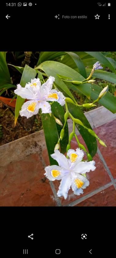 olgabijoux.ot en Hamelin: Flora  (Luján de Cuyo), Iris japonica
