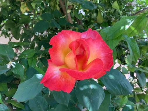 Manubarbecho en Hamelin: Flora  (Córdoba), #flora21