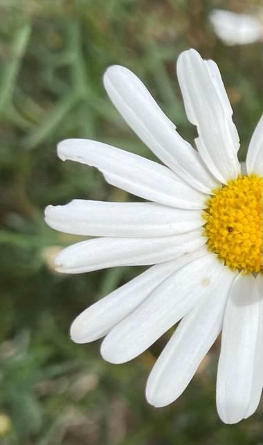 Zetadeuve en Hamelin: Flora  (Güímar), #Tenerifelicidad