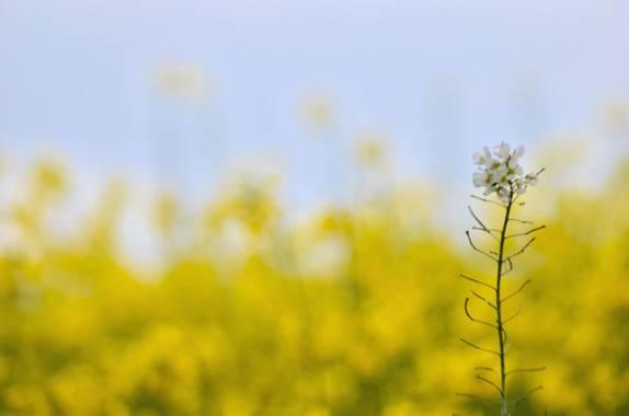 Azulmarino  en Hamelin: Flora  (Gurb), Limnanthes douglasii, Campos de colza #frommypointofview #nature #landscape #colza #primavera