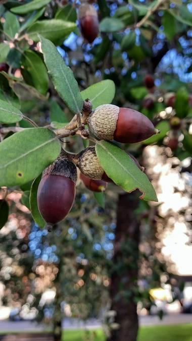 Corina en Hamelin: Flora, Quercus ilex, #ParquesyJardines