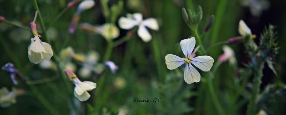 Frankgt48 en Hamelin: Flora  (Madrid), Raphanus raphanistrum, #flora21