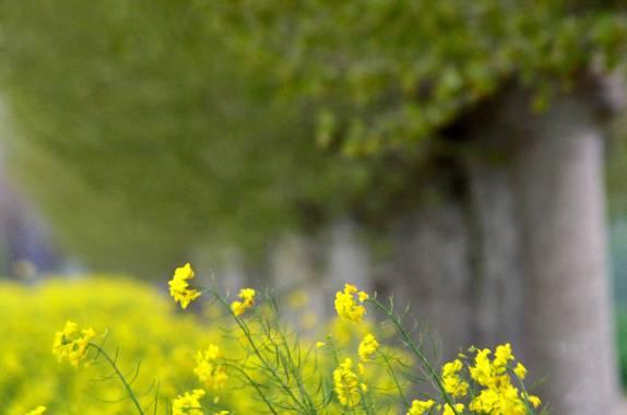 Azulmarino  en Hamelin: Flora  (Manlleu), El aire peinando la flora #frommypointofview #landscape #colza #campos #amarillo #naturaleza #agricultura