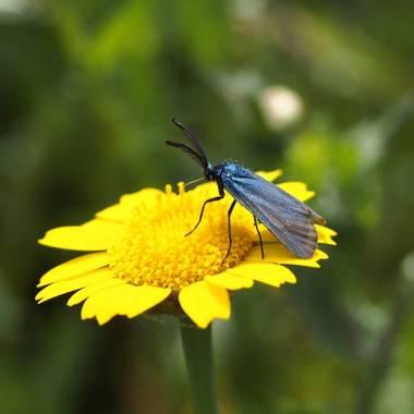 Gustavo Adolfo. en Hamelin: Fauna  (Buenaventura), Adscita statices. Es una polilla que no solo buela de noche, también se gusta hacerlo en días soleados. ...