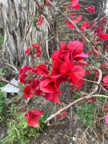 Naiete_correia en Hamelin: Flora  (Spain), Bougainvillea glabra