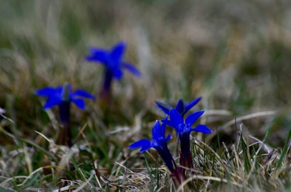 Azulmarino  en Hamelin: Flora  (Queralbs), Gentiana de Primavera #frommypointofview #flora #altamontaña #primavera