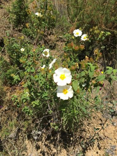 auricahk en Hamelin: Flora, Cistus salviifolius, Costa Del Sol