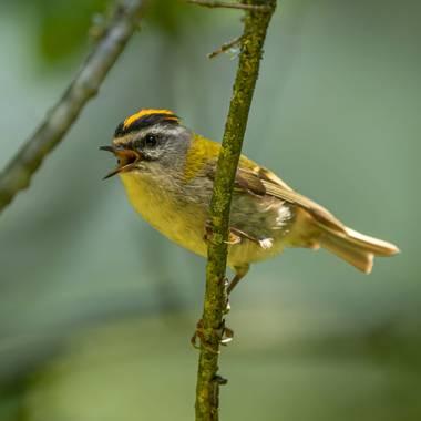 Aitor_gil en Hamelin: Fauna  (Ultzama), Regulus ignicapilla (Temminck, 1820), Esta es la segunda ave más pequeña europea midiendo de 9 a 10 cm y unos 5gr d...